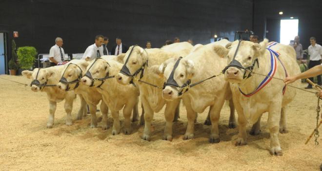 Le concours charolais adultes est reporté, mais celui des veaux et la vente aux enchères sont maintenus. CP : herd-book charolais, Gaec Clame Aubouard (03)