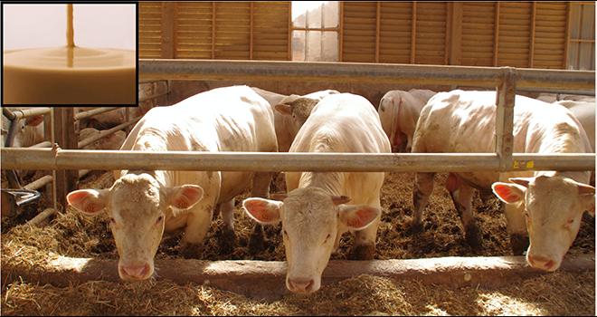 Engraisser les bovins avec de la crème de pois, est-ce bénéfique ? ©MD.Guihard/Pixel6TM