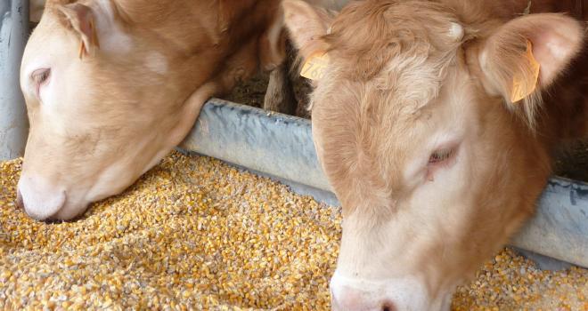 Ensilage de maïs grain humide : un concentré fermier de « premier choix ». CP : Arvalis