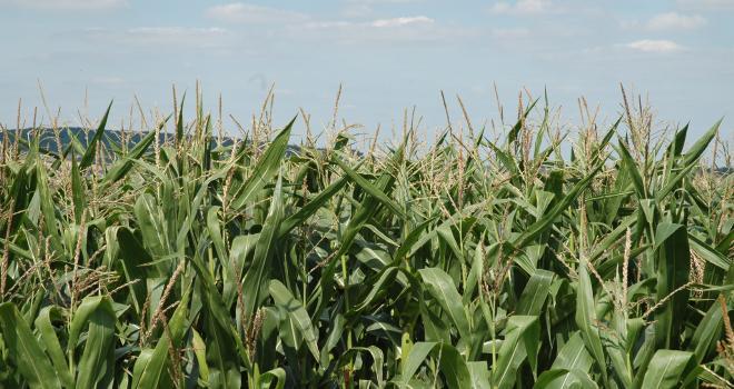 La période de début de récolte proposée dans la carte prévisionnelle correspond aux maïs les plus avancés de la région. CP : H.Flamant/Terroir Est