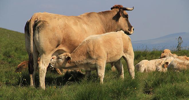 55 % des bovins commercialisés par Celia sont issus de mère aubrac. Photo : Jacky Jeannet/Fotolia