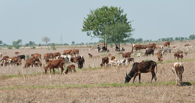 D'ici à 2025, la production mondiale de lait devrait augmenter de 23 %, l'essentiel de cette hausse provenant des pays en développement, notamment de l'Inde et du Pakistan. Photo : Alexandra Giese