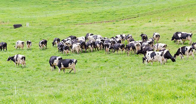 La hausse de production de gros bovins en France au premier semestre 2016 découlera notamment d'une progression des abattages de vaches. © Unclesam/Fotolia