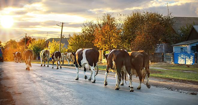 Le développement du secteur de l'élevage en Ukraine est hétérogène : le secteur bovin est à la traîne derrière ceux du porc et de la volaille. © Sonatali/Fotolia