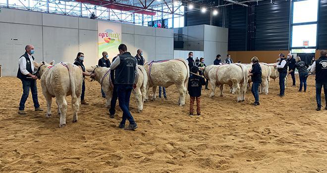 Deux concours seront organisés en race charolaise, un concours « adultes » et un concours « jeunes bovins ».  © Claire Lamy-Grandidier