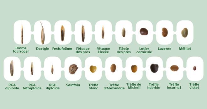 Le poids de mille grain fait partie des critères à prendre en compte pour réaliser des mélanges de prairie. CP : DR.