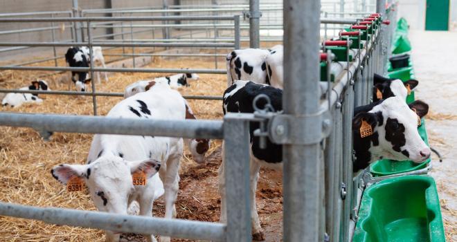 En France comme aux Pays-Bas, le marché du veau n'est pas à la fête. CP : L.Page/Cniel