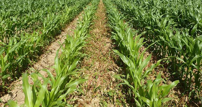 Désherbage trop tardif en maïs fourrage sur flore dicot : la concurrence est très visible (maïs plus court et carencé en azote) par rapport au témoin à droite.