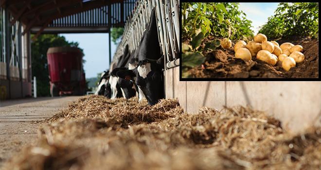 La pomme de terre un coproduit adapté aux bovins. CP : L.Page/Cniel