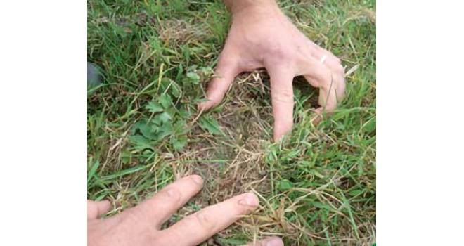 Le sursemis demande de bonnes conditions pour semer et une surveillance ensuite  de la concurrence de la flore déjà installée.
