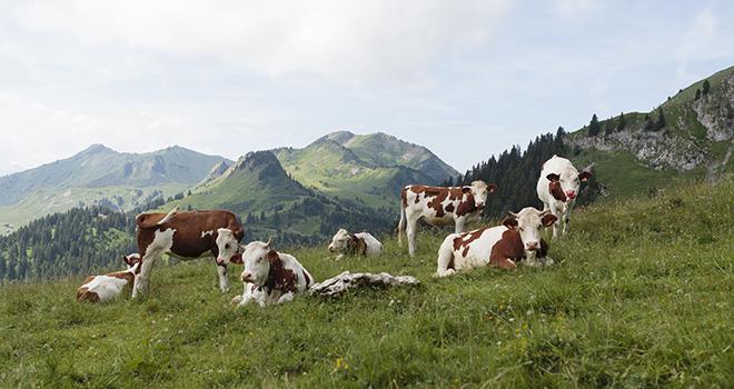 Environ 65 000 emplois directs et indirects dépendent de la filière laitière de montagne. Une baisse annuelle constante d'environ 5% du volume de lait collecté pendant cinq ans se traduirait par la perte d'environ 10 000 emplois, impactant ainsi directement près de 29 000 personnes. Photo : Lucie Page/Cniel