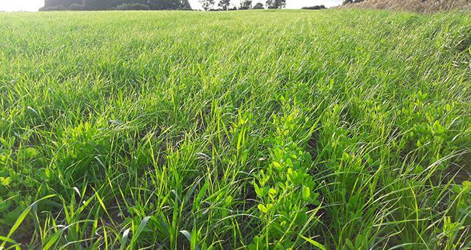 Les associations graminées légumineuses sont à semer dès la récolte. ©DR