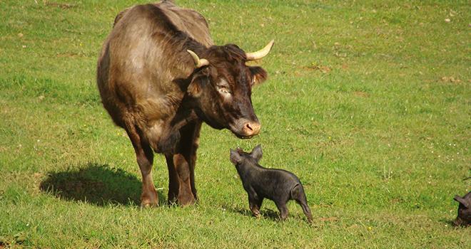 Le « Prix national de la Fondation du patrimoine pour l'agrobiodiversité animale » récompense les éleveurs qui s'engagent pour préserver une race domestique animale à faible effectif. Crédit photo : DR