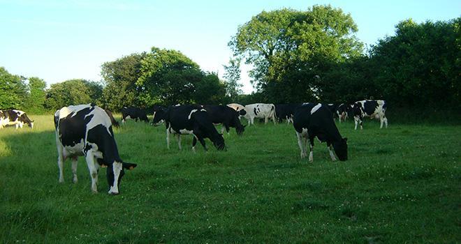 La conversion en bio entraîne une modification profonde des équilibres : un recul de la production laitière, une baisse des rendements des cultures, une hausse de la surface fourragère. Photo : V Brocard